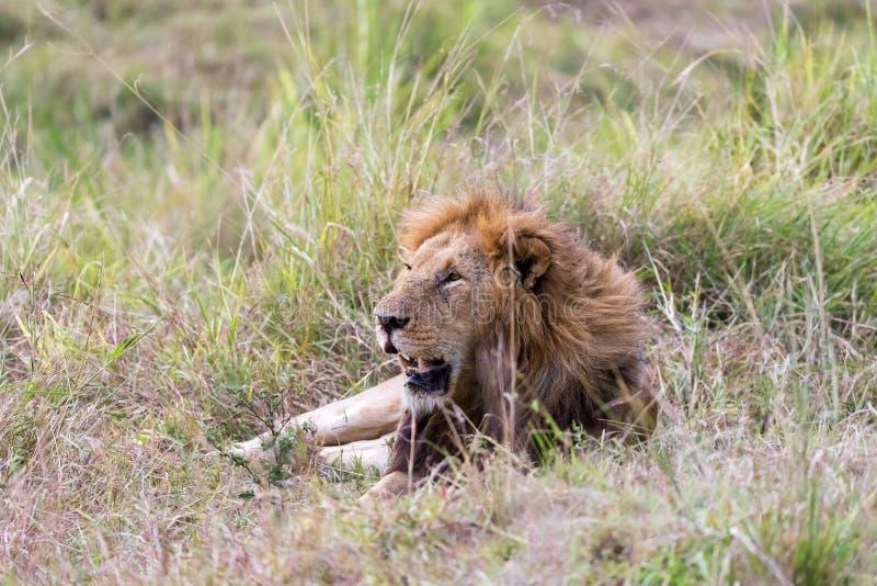 Lew odpoczywa w długiej trawie Masai Mara zdjęcie stock