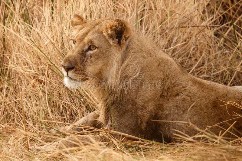 Lew - Okavango delta - Moremi N P fotografia stock