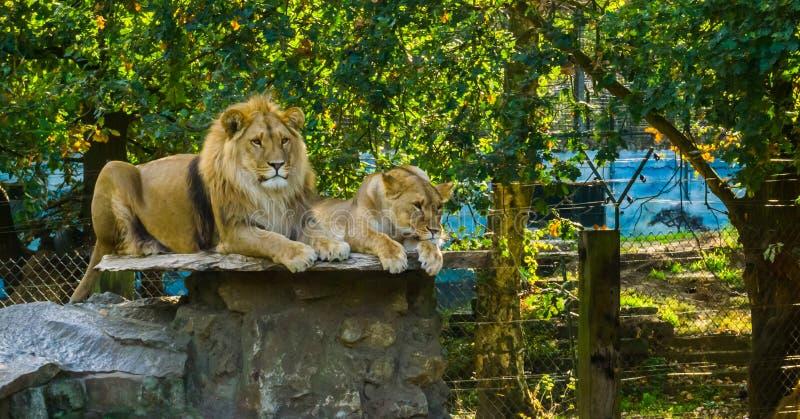 Lew para kłaść na skale, samiec i żeńskiej parze, wpólnie, Dzicy koty od Afryka, Podatni zwierzęcy gatunki obraz stock