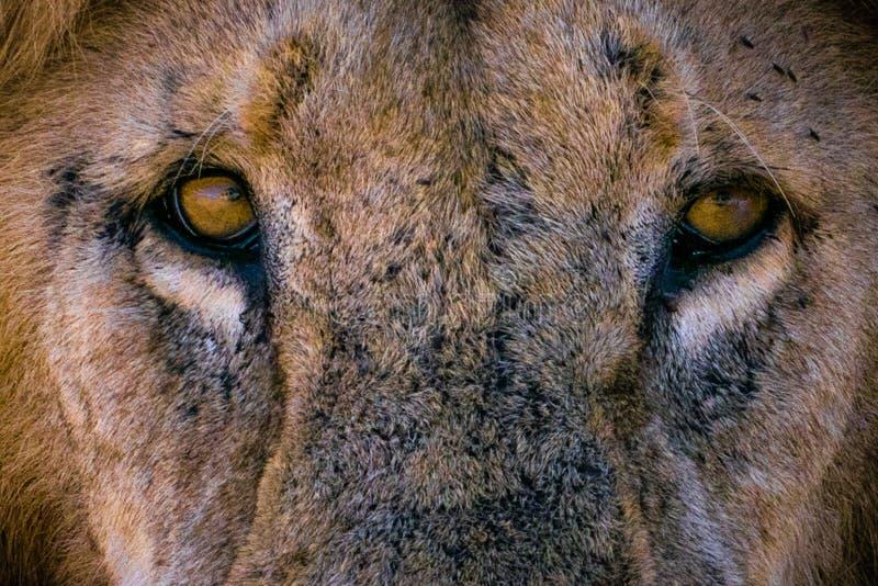 Lew patrzeje ciebie obraz royalty free