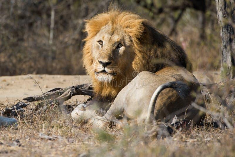 Lew patrzeje kamerę Południowa Afryka fotografia royalty free