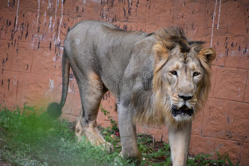 Lew pokazuje swój Królewskiego spojrzenie w lesie zdjęcia stock