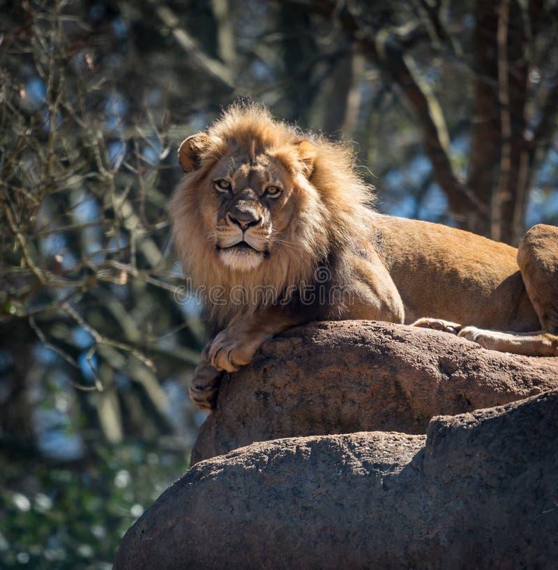 Lew pozy Na Wielkim głazie zdjęcia royalty free