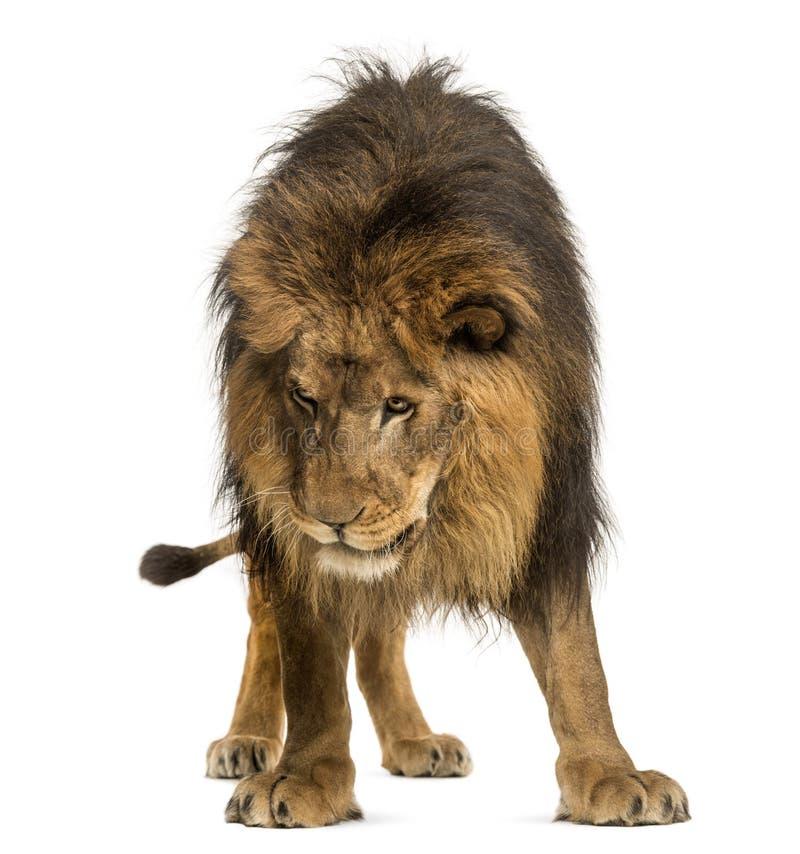 Lew pozycja, patrzejący w dół, Panthera Leo, 10 lat, odizolowywa obrazy stock