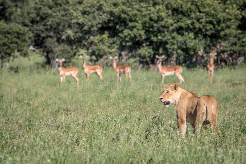 Lew pozycja przed Impalas zdjęcie royalty free