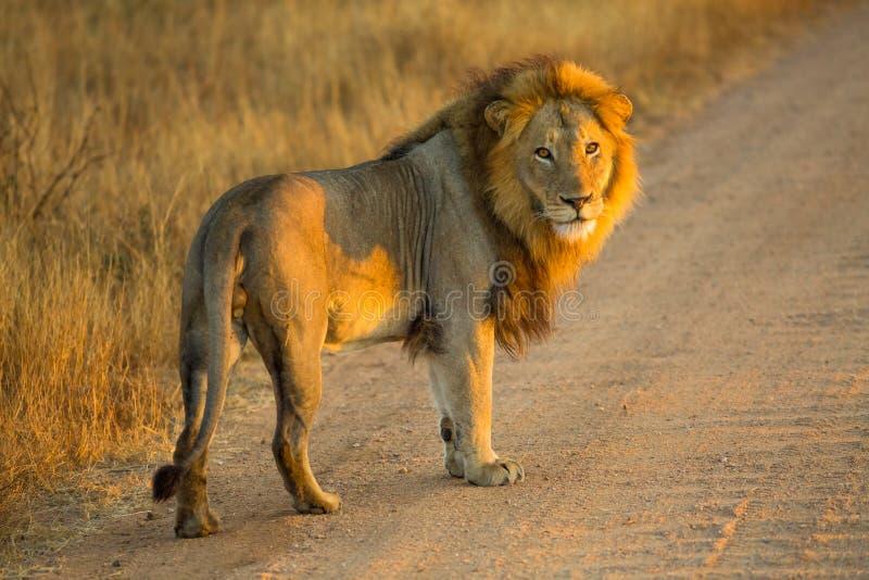 Lew pozycja przy wschodem słońca obrazy stock