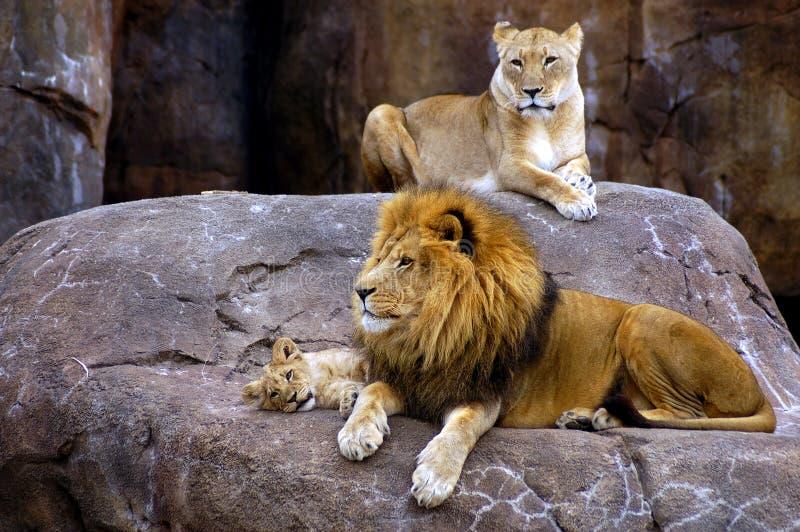 lew rodziny obraz stock