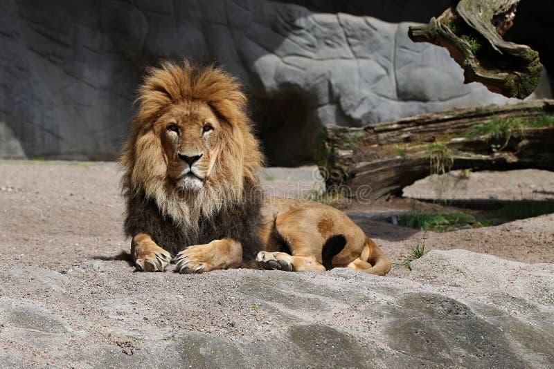 Lew samiec na skalistym miejscu w niewoli obrazy royalty free