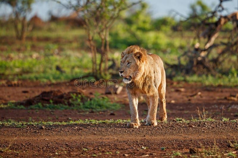 Lew samiec w Południowa Afryka zdjęcie stock