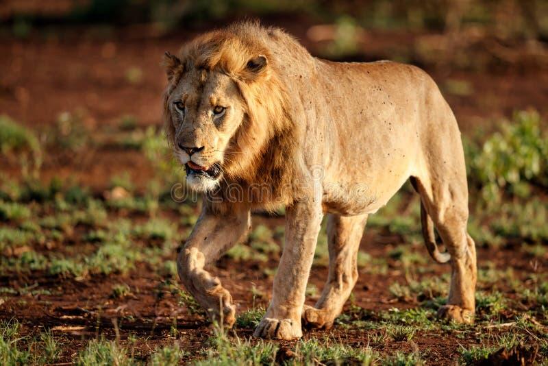 Lew samiec w Południowa Afryka zdjęcia royalty free