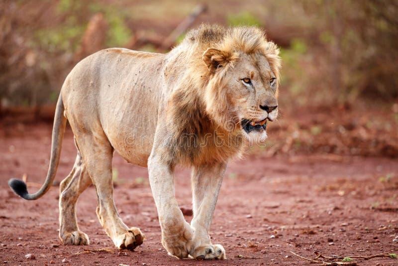 Lew samiec w Południowa Afryka obrazy stock