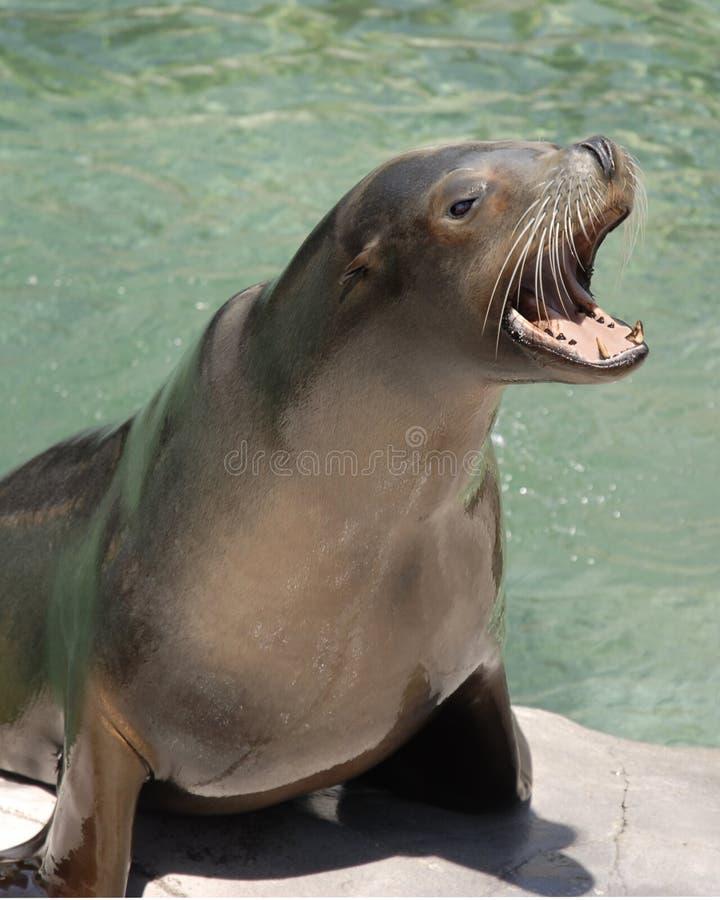 lew szczekliwy morza zdjęcie royalty free