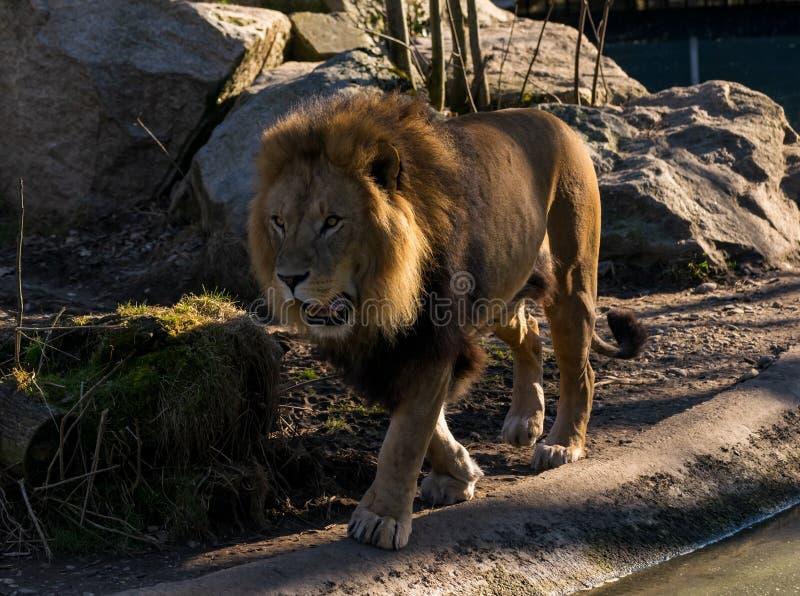 Lew wędruje przez swój terytorium zdjęcia stock