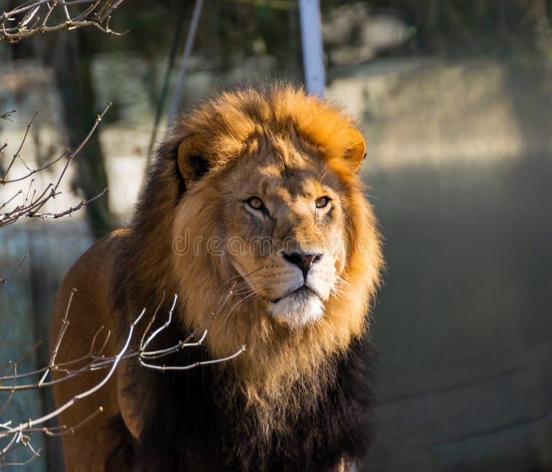 Lew wędruje przez swój terytorium zdjęcie stock