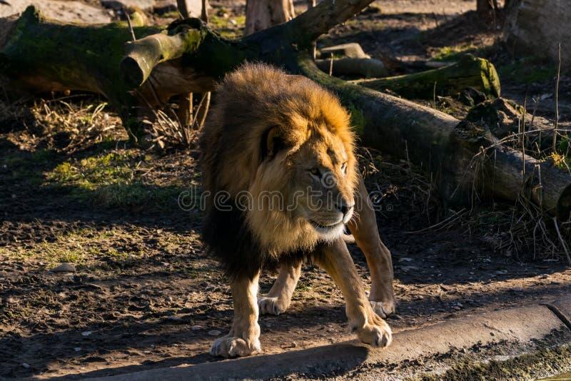 Lew wędruje przez swój terytorium fotografia royalty free