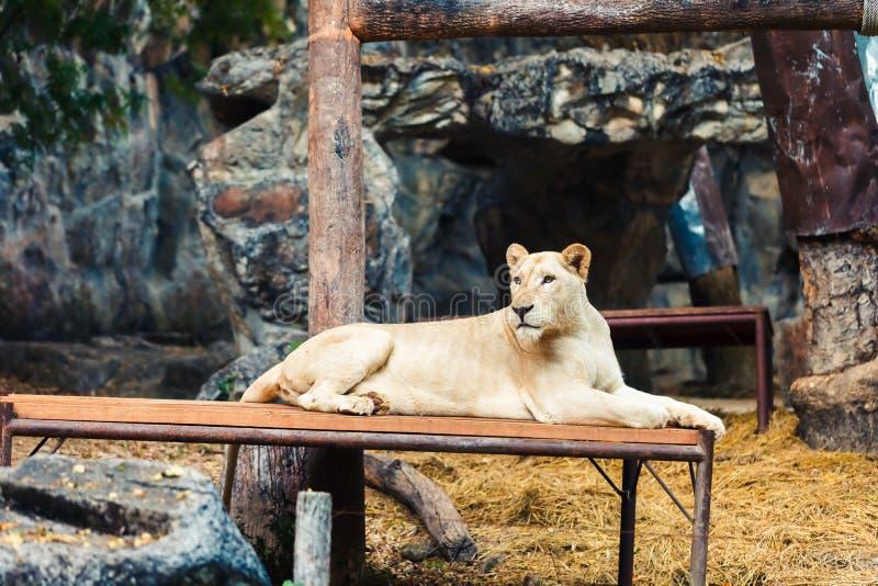 Lew w Chiang Mai nocy safari zoo, jeden popularna atrakcja turystyczna w Tajlandia zdjęcie stock