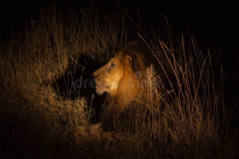 Lew w krzaku przy noc zdjęcie royalty free