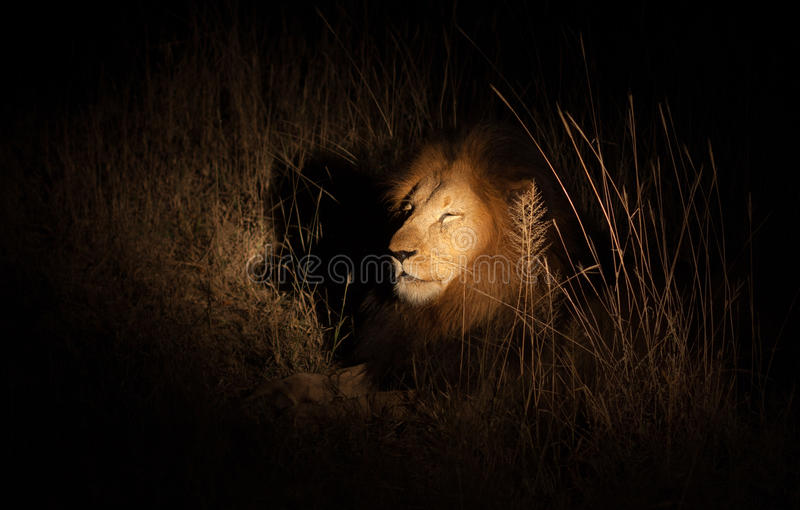 Lew w krzaku przy noc zdjęcia royalty free