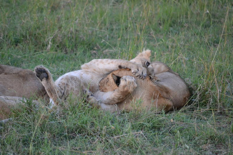 Lew w Maasai Mara, Kenja zdjęcia stock
