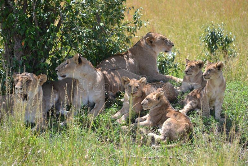 Lew w Maasai Mara, Kenja obraz royalty free