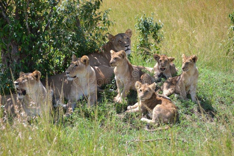 Lew w Maasai Mara, Kenja obrazy stock