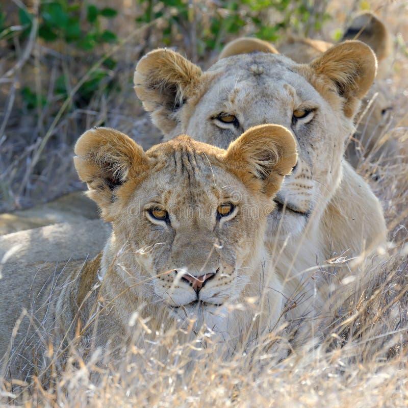 Lew w parku narodowym Kenja obrazy royalty free