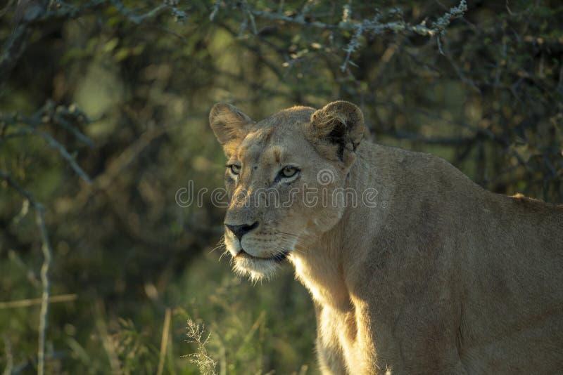 Lew w profilu obraz stock