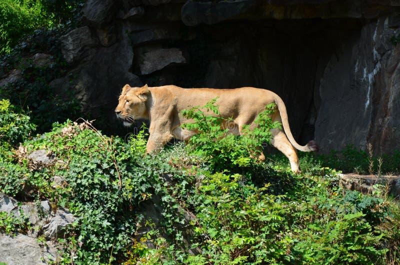 Lew w zoo Frankfurt zdjęcia royalty free