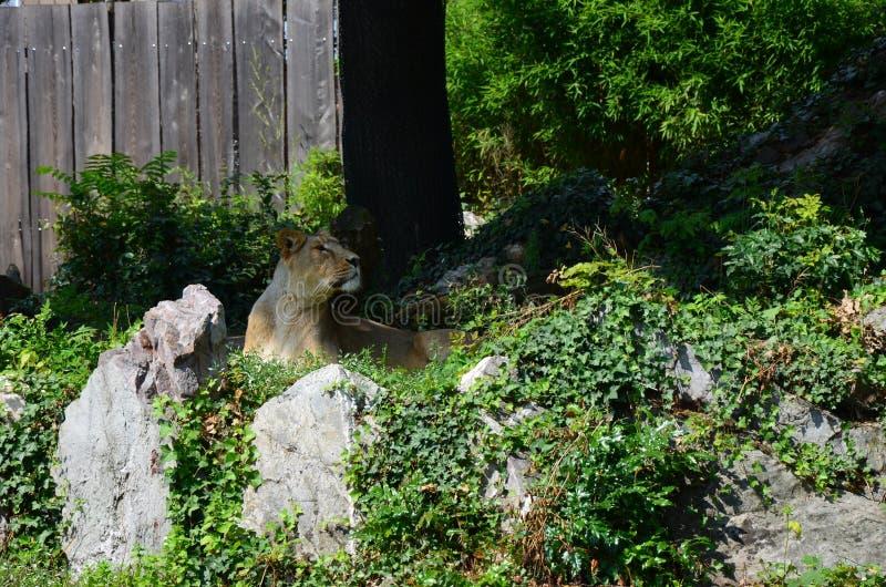 Lew w zoo Frankfurt obraz royalty free