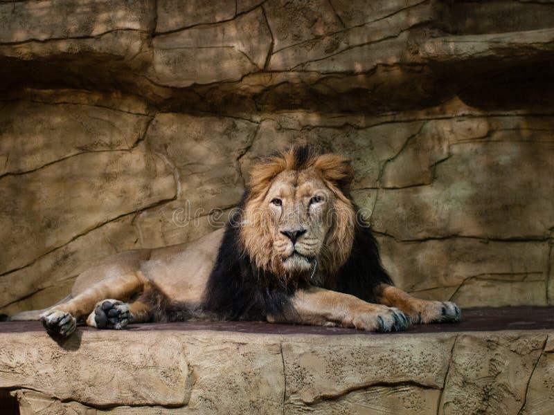 Lew w zoo klauzurze zdjęcia royalty free