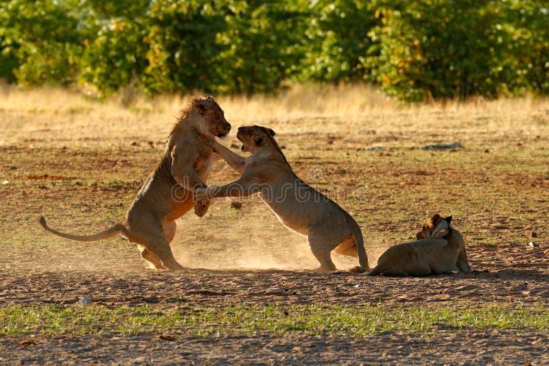 Lew walka w piasku Lew z otwartym kaganem Para Afrykańscy lwy, Panthera Leo, szczegół duzi zwierzęta, Etosha NP, Namibia wewnątrz zdjęcie stock