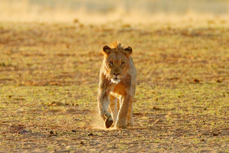 Lew woda pitna Portret para Afrykańscy lwy, Panthera Leo, szczegół duzi zwierzęta, Kruger park narodowy Południowa Afryka fotografia stock