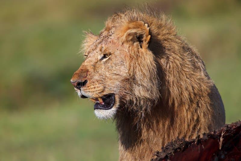 Lew z Bawolim zdobyczem w Masai Mara obraz royalty free