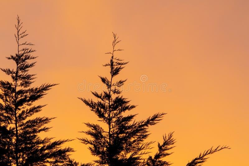 Leyland Cypress Tree Silhouette sur un coucher du soleil orange et rose photos stock