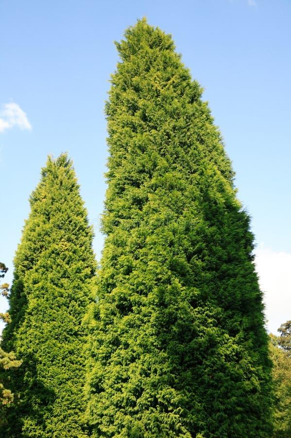 Leylandii (Leyland Cypress) fotos de stock royalty free