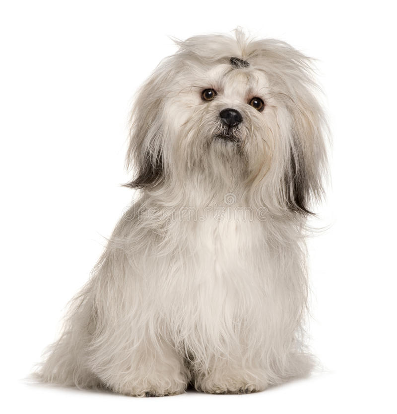 Lhasa Apso 2 Years Old Lhasa Apso, 1 y...