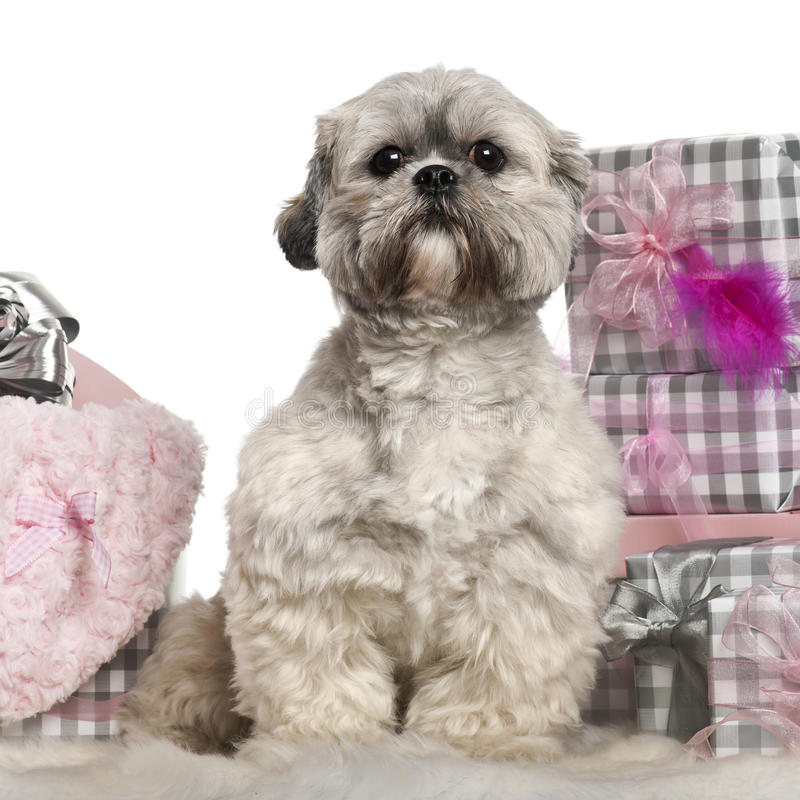 Lhasa Apso 2 Years Old Lhasa Apso, 2 Y...