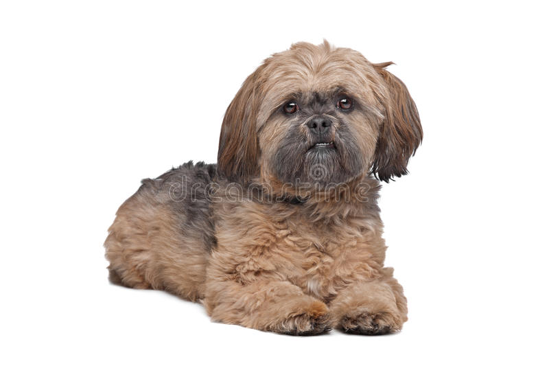 Lhasa Apso. In front of a white background royalty free stock images