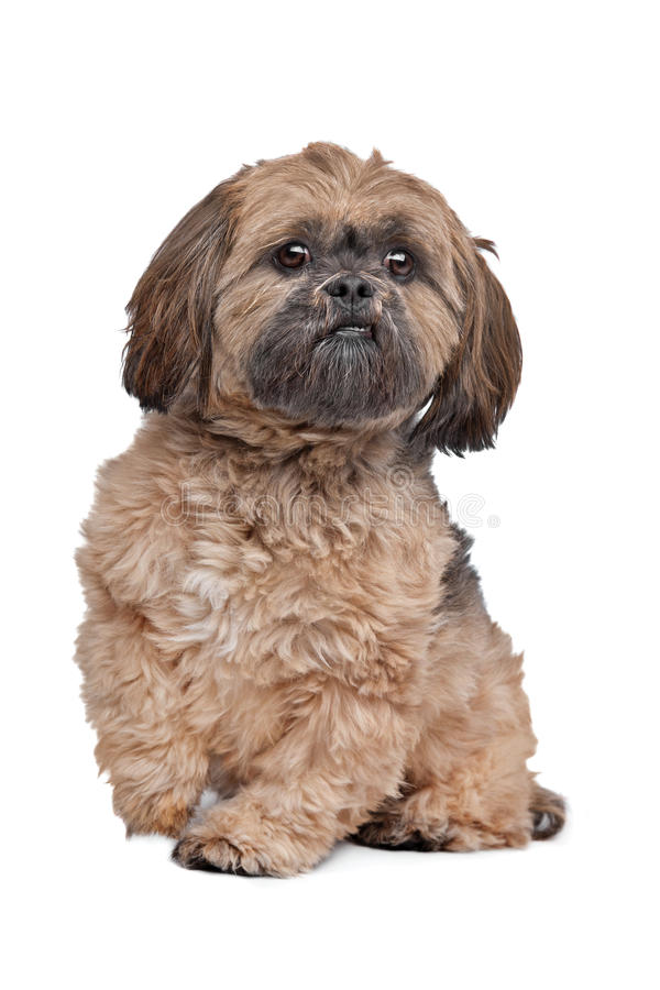 Lhasa Apso. In front of a white background stock photography