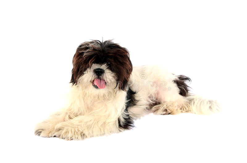 Download Lhasa Apso stock image. Image of happy, intelligent, domestic - 2908109