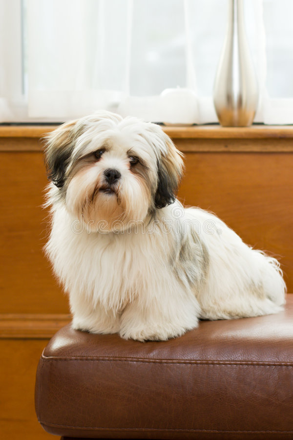 Download Lhasa apso stock image. Image of sitting, young, indoors - 7804963