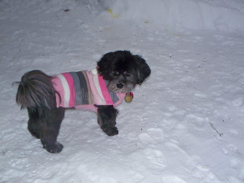 Lhasa Apso die Sweater dragen royalty-vrije stock foto's