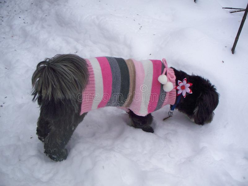 Lhasa Apso die Sweater dragen stock foto