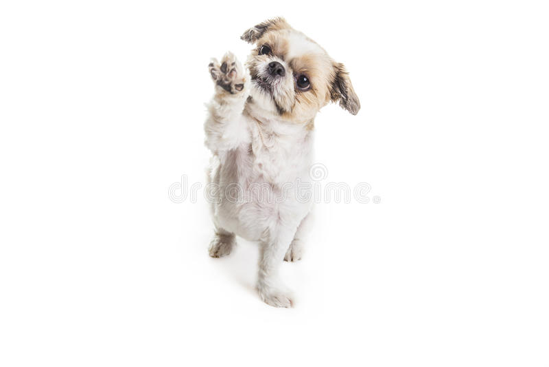 Lhasa Apso Dog über einem weißen Hintergrund stockbild