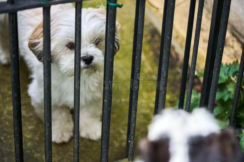 Lhasa Apso Dog On Guard fotos de archivo libres de regalías