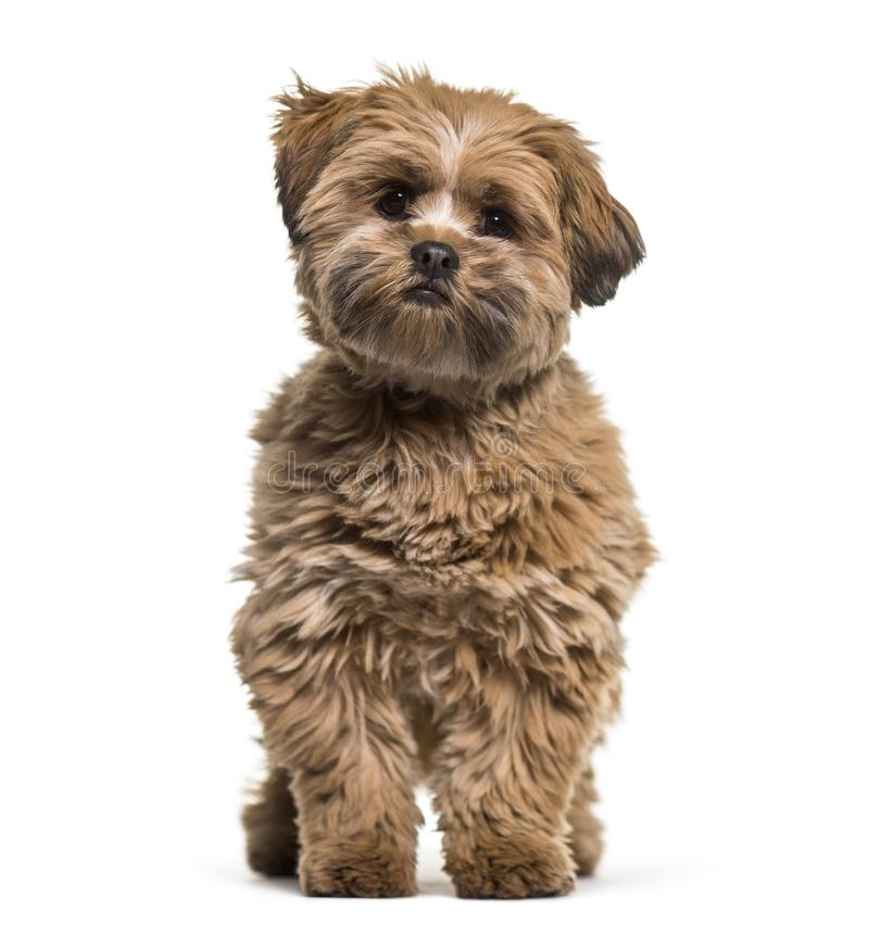 Lhasa apso dog, 8 months old, sitting against white background. Isolated on white royalty free stock images