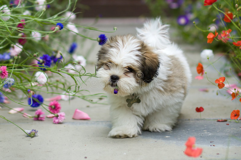 Lhasa apso puppy. Cute lhasa apso puppy chewing a flower
