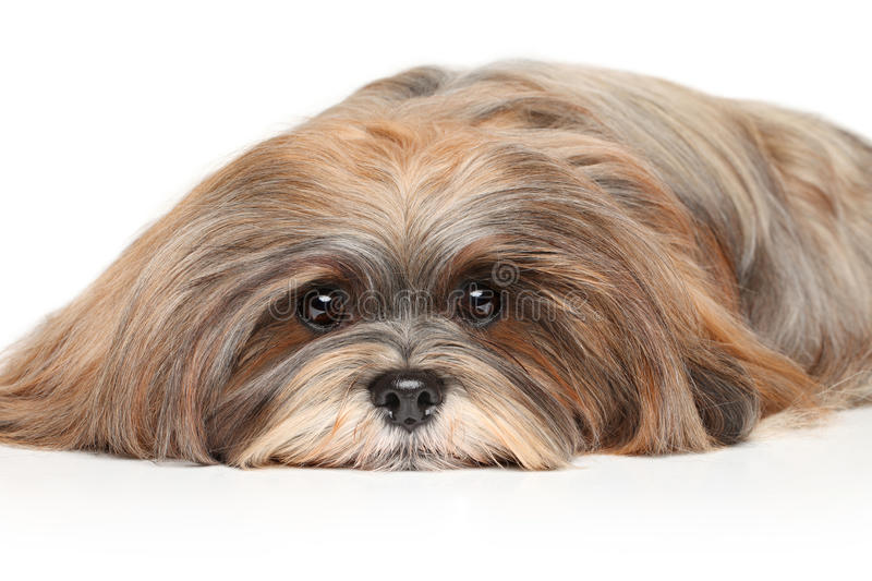 Lhasa Apso resting. On a white background stock image