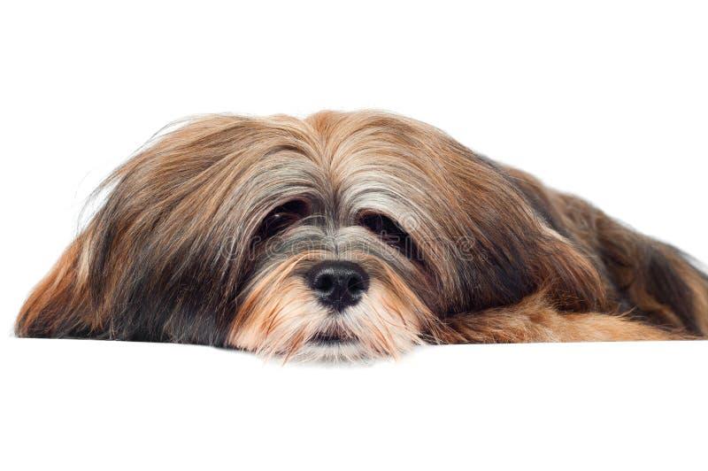 Lhasa apso Hundeporträt stockbild