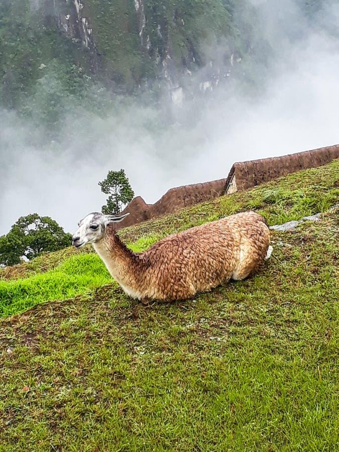 Lhasa descansou quietamente em Machu Picchu foto de stock